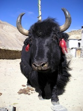 Yak in Rongphu Monestry, Everest, Tibet