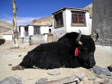 Yak in Rongphu Monestry, Tibet