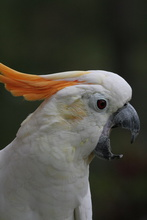 White parrot, Bukittinggi, Indonesia