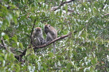 Two monkey looking at us from their tree, Sumatra, Indonesia