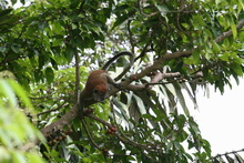 Macaque on the tree, Sumatra, Indonesia