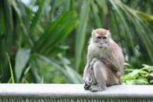 Macaque by the road, Sumatra, Indonesia