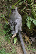 Macaque, Sumatra, Indonesia