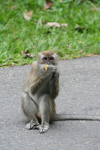 Macaque on the road, Sumatra