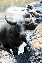 Water bulls in indonesian Sumbawa
