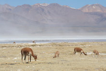 Vicunas and Flamingos at Salar de Surire, Chile
