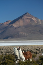 Lamas at Salar de Surire, Chile