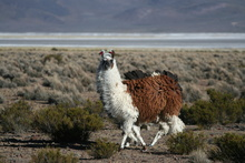 Curious Lama at Salar de Surire, Chile