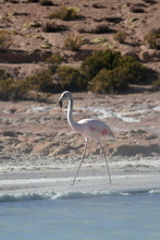 Flamingo at Thermal pool Polloquere, Chile