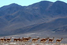 Vicunas at Thermal Pool Polloquere, Chile