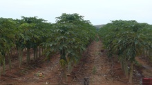 Papaya farm