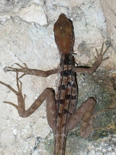 a small lizard in Cenote Seytun