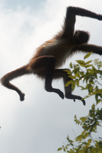 Jumping monkey in Tikal