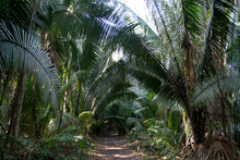 Palms in Peten jungle