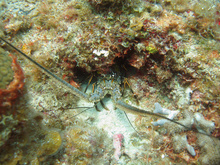 Lobster, Underwater world by Dasa, Utila