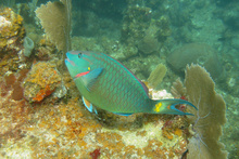 Parrot fish, Underwater world by Dasa, Utila