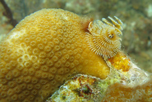 Christmas tree worm in a coral, Underwater world by Dasa, Utila