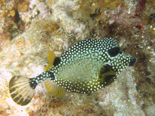 Smooth trunkfish, Underwater world by Dasa, Utila