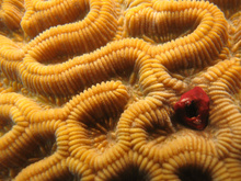 Detail of a brain coral, Underwater world by Dasa, Utila