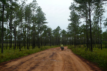 Pine forest of La Mosquitia