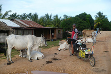 Cows everywhere in RAAN