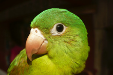 Green parrot of Atlantico norte
