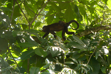 Howler monkeys in someone's garden