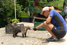 Coati has no fear, Costa Rica