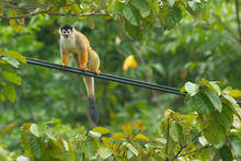 Squirrel monkey sitting on the electric cable, Costa Rica