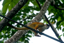 Squirrel monkey on the electric cable, Costa Rica