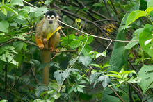 Squirrel monkey in Osa, Costa Rica