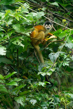 Squirrel monkey near the road, Costa Rica