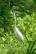 The Great White Heron in Costa Rica